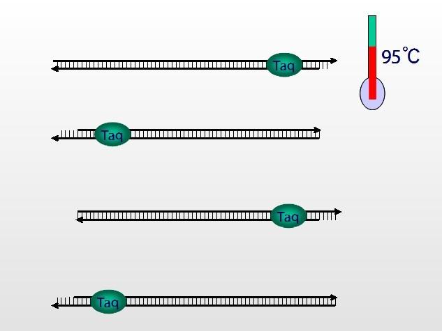 拜力生物——pcr技术简史及操作步骤