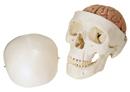 A20/9: 帶腦經典顱模型,八部分