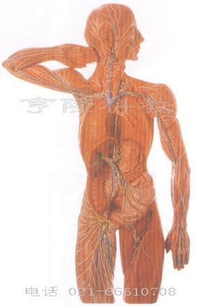 人体骨骼模型 头颅骨模型 全身肌肉解剖模型 口腔模型 脑模型