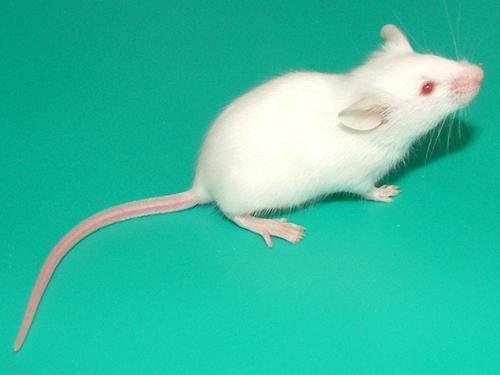 小阴群囹�a_不同种类小鼠
