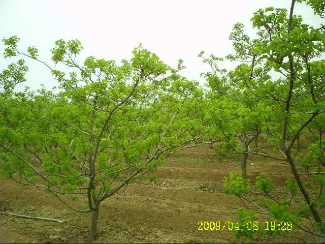 供应桃树 杏树 苹果树 梨树 核桃树 山楂树 柿子树 樱桃树 花椒树