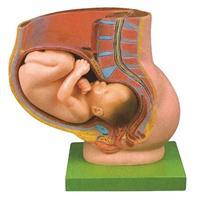 骨盆妊娠九个月胎儿模型 JP/32006