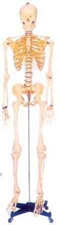 人体解剖模型|168CM人体骨骼模型(男、女) GD-0101A
