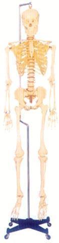 人体解剖模型|168CM人体骨骼模型 GD-0101F