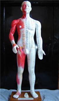 医学针灸模型|半皮肤人体针灸模型(十四经穴模型84CM)  84CM