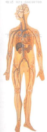 解剖模型眼解剖模型心脏