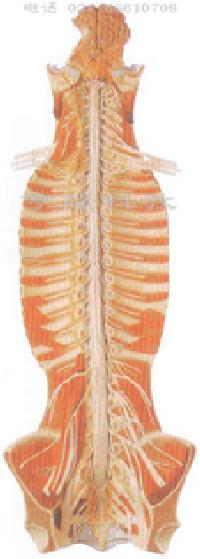 脊髓形态结构图片