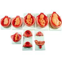 妊娠胚胎发育过程模型|胎儿妊娠发育过程模型 KAH-XC818