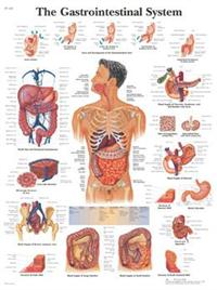 The Gastrointestinal System 标准大小
