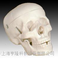 自然大头骨模型 KAH/A104