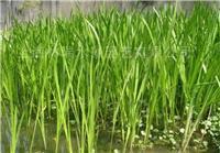 水生植物·菖蒲