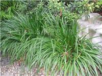 水生植物·石菖蒲上海林瑞
