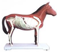 馬器官模型 -
