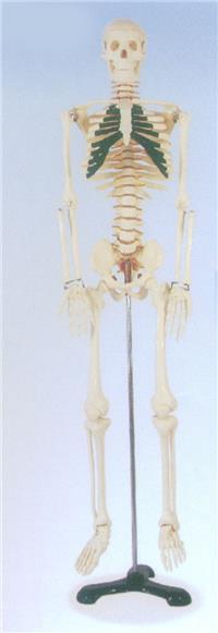 牛骨骼结构图及名称