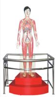 微电脑人体心动周期与大、小循环演示模型