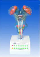 电动脑干模型(I型)
