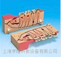 牙分解剖组织模型 KAH/B10007