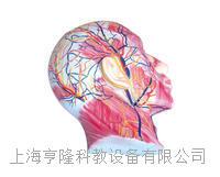 颜面浅层肌肉神经血管 KAH2120