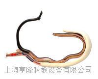 血吸虫模型(雌雄合抱) KAH3232