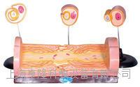 周围神经纤维髓鞘的发生和有髓纤维的超微结构 KAH5049