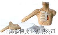 医学模型|外周穿刺、中心静脉穿刺插管模型 GD/L69C