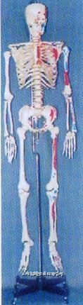 **男性透明胸骨左边肌肉着色编码人体骨骼模型 GD-0101G6