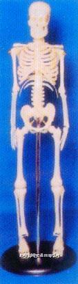 人体解剖模型|45CM人体骨骼模型 GD-0121A