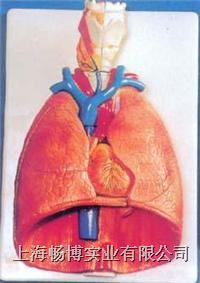 解剖教学模型|喉、心、肺模型