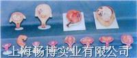 人体妊娠过程模型 GD-0339H