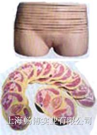 人体断层教学模型|女性盆部横断断层解剖模型 SMR08