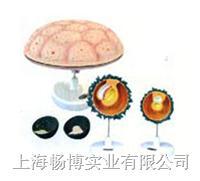 医学教学模型|胎儿附属物模型 SMO022