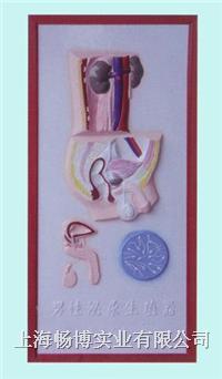 医学浮雕模型|男性泌尿生殖系统浮雕模型