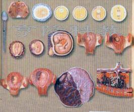 人体组织胚胎学模型