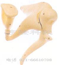 听小骨放大模型 GD/A17203