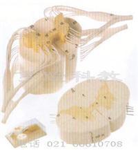 脊髓和脊神经分支放大模型 GD/A18103