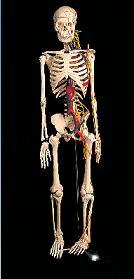 85cm骨骼附神经模型