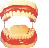 人体模型、口腔保健模型(配牙刷) SX-315