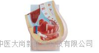 女性矢状解剖(2件) SX-465