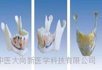 下颌骨解剖模型 SX-617