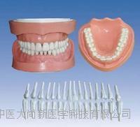 可卸式有根标准牙模型 SX-622