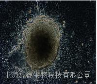 美國Oct4-GFP報告基因小鼠尾端成纖維細胞 PCTTF01