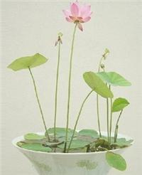 观赏盆栽荷花种子 碗莲子