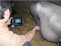 动物B超在猪场的应用价值