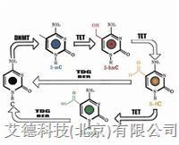 EZ DNA Methylation-Lightning™ Kit