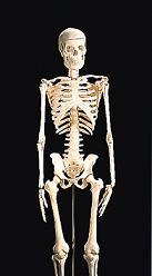 85cm人體骨骼模型